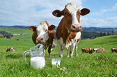 Milk and cows. — 图库照片