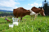 Milk and cows — Stock fotografie