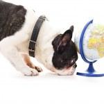 perro con mapa mundial sobre fondo blanco — Foto de Stock