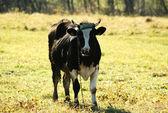 黒牛 — ストック写真