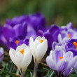 Crocuses — Stock Photo #23962701