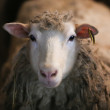 Sheep — Stock Photo #24033919