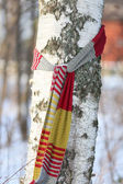Birch with a Scarf — Stock Photo