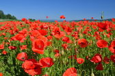 Poppies on blue sky background — Stok fotoğraf