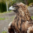 Golden eagle — Stock Photo