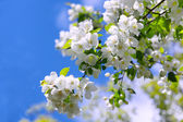 The branch of Apple blossoms, on the background of blue sky — Stock Photo