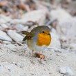 Cute robin — Stock Photo