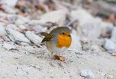 Cute robin — Stock Photo