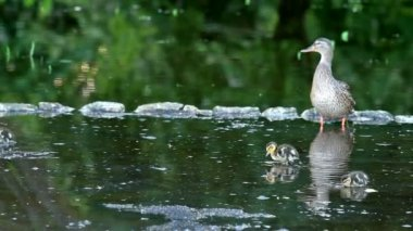 Vahşi ördek ailesi — Stok video