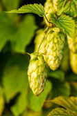 Humulus — Stock Photo