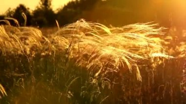 Stipa field — Stockvideo