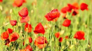 Flores de amapola — Vídeo de Stock