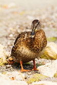 Wild duck — Stock Photo