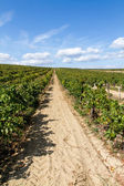 Row of grapevines — Stock Photo