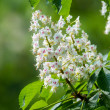 Stock Photo: Horse chestnut flower