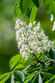 Horse chestnut flower — Stock Photo