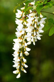 Robinia — Stock Photo