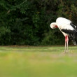 Stock Video: White stork