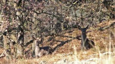 Red deers — Stock Video