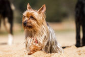 Yorkshire terrier — Photo