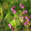 Sticky Catchfly — Stock Video