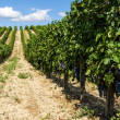 Viticulture — Stock Photo #23912383
