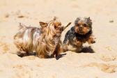 Yorkshire terrier — Foto Stock