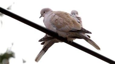 Güvercinler — Stok video