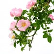 Dog rose - Stock Photo