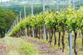 Linhas de uvas — Fotografia Stock
