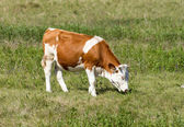 Hungarian cow — Stock Photo