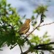 Song Thrush (Turdus philomelos) — Stock Photo #26078213