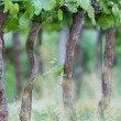 Viticulture — Stock Photo #26237245