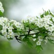 Beautiful hawthorn bush flowers — Stock Video