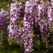 Wisteria sinensis flowers — Stock Video