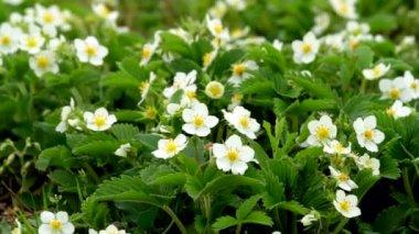 Aardbei bloemen — Stockvideo