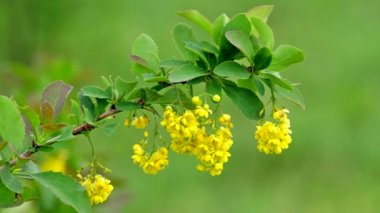 European barberry flowers (Berberis vulgaris) — Vídeo Stock