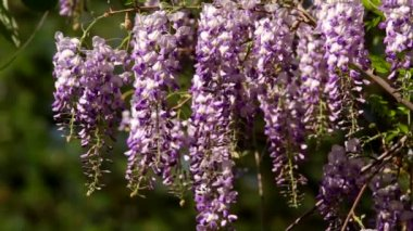 Wisteria sinensis flowers — Stock Video