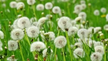 Beautiful dandelions — Stock Video
