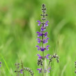 Meadow Clary (Salvia pratensis) in the springtime — Stock Video