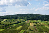 Beautiful rows of viticulture — Stock Photo