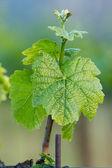 Hroznová rostlina — Stock fotografie