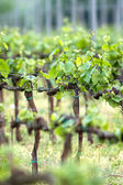 Belas linhas de uvas na primavera — Foto Stock