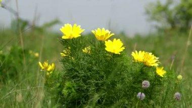 Beautiful yellow flowers of Adonis (Adonis vernalis) — Stock Video
