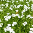 Stock Photo: White poppy flowers