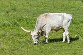 Hunlgarian grey bull — Stock Photo