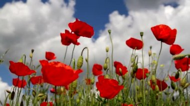 Poppy field law angle view — Stock Video