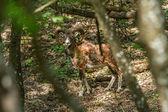 Mouflon — Fotografia Stock