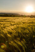 Cereal field — Stock Photo