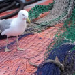 Seagull try to eating a small shark — Stok video